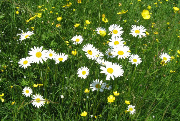 decorative image of a field with daisy and buttercups.